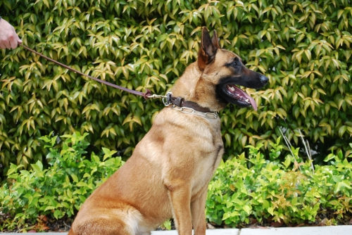 k-9 Police Dog For Sale