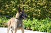 Police Dogs For Sale K9